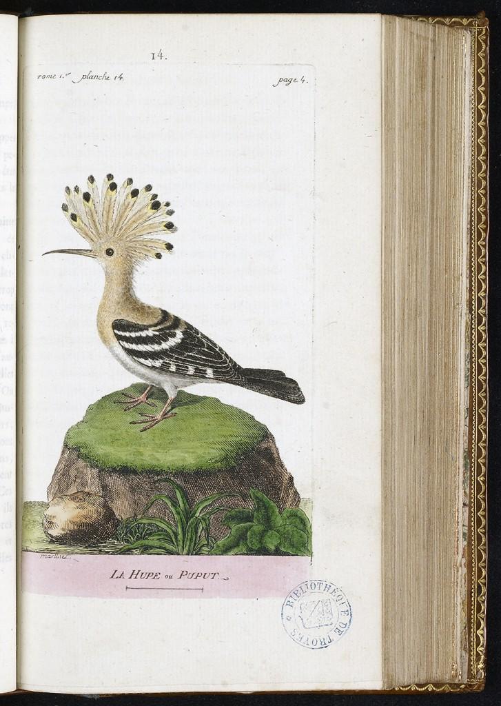 Histoire des oiseaux, peints dans tous leurs aspects apparens et sensibles, ornée de planches coloriées, par F.-N. Martinet, 1790, Médiathèque du Grand Troyes, photo P. Jacquinot, cote S 11 3028 14