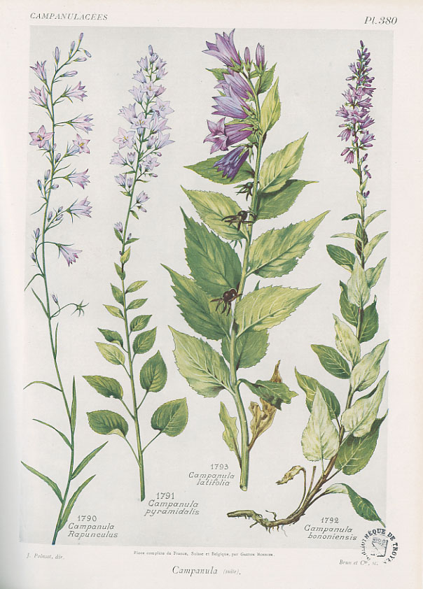 Flore complète, illustrée en couleurs, de France, Suisse et Belgique, par Gaston Bonnier. 1912-1935, Médiathèque du Grand Troyes, photo P. Jacquinot. Cote 1095, pl. 380