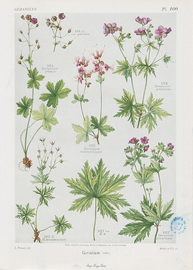 Flore complète, illustrée en couleurs, de France, Suisse et Belgique, par Gaston Bonnier. 1912-1935, Médiathèque du Grand Troyes, photo P. Jacquinot. Cote 1090, pl. 100